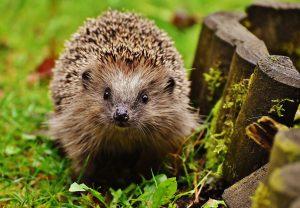 A curious hedgehog